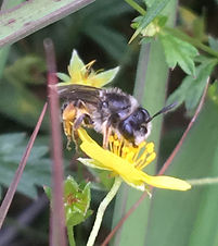 Andrena tarsata.jpg