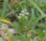 Polygala amarella-Kentish Milkwort.jpg