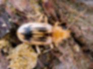 Eurynebria complanata - Beachcomber Beet
