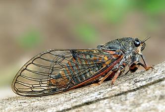 Cicadetta montana - New Forest Cicada.jp