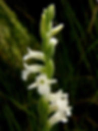 Spiranthes_aestivalis_(Summer_lady's-tre