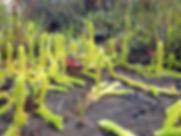 Lycopodiella inundata - Marsh Clubmoss2.