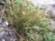 Asplenium septentrionale - Forked Spleen