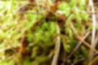 Cheilothela chloropus - Rabbit Moss.jpg