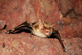 Myotis myotis (Greater mouse-eared bat).