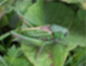 Decticus verrucivorus - Wart-biter.jpg