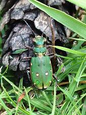 Cicindela campestris - Green Tiger Beetl