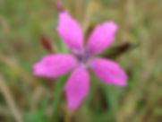 Dianthus armeria - Deptford Pink.jpg