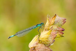 Coenagrion armatum (Norfolk damselfly).j