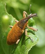 Lixus angustatus nec algirus.jpg