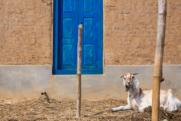 Blue door and white goat