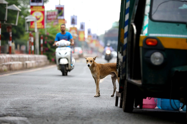 Agra - Lonely dog
