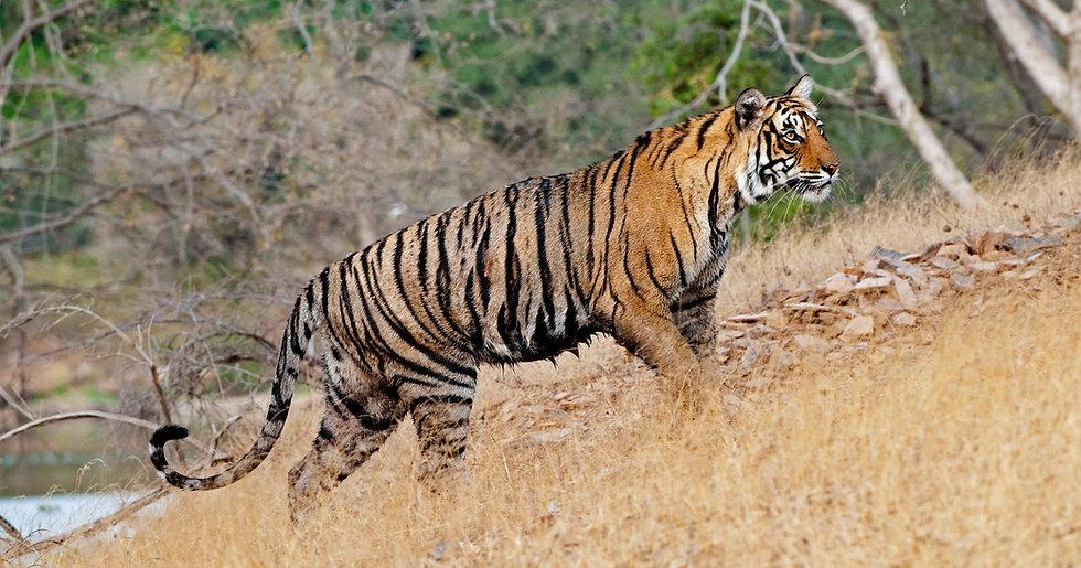tiger%2012_edited.jpg