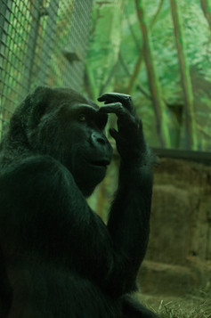 Gorilla Photography