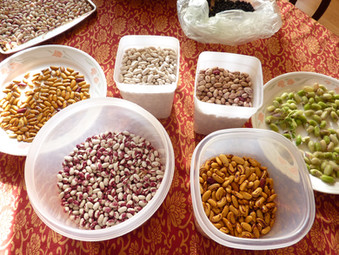 Dried Bean Harvest 2011