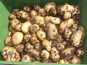 First Potato Harvest