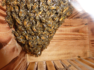 Bees inside a Warre hive