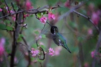 anna_s%20hummingbird%202_edited.jpg