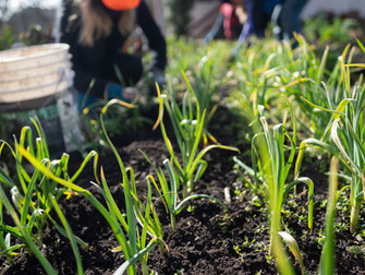 Weeding in Amrita Field
