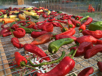 Peppers Drying in Greenhouse