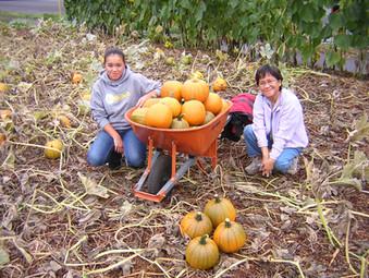 First Pumpkin Harvest