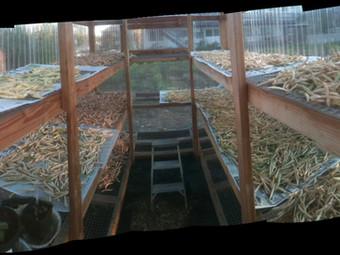 Beans Drying on Greenhouse Racks
