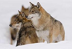 Loups _01.jpg