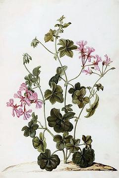 Pelargonium_géranium.jpg