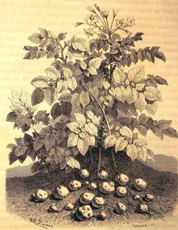 Pomme de terre _02.jpg
