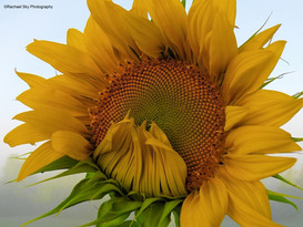 The Shy Sunflower