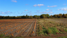 The Pumpkin Field