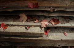 Resting Maple Leaves
