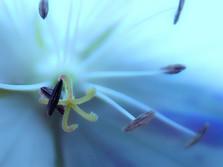 Star Fish in a Geranium Flower