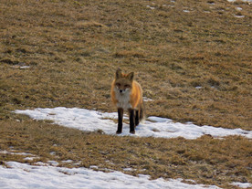 Red Fox on a Patch of Snow