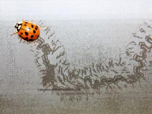 Lady Beetle Tracks