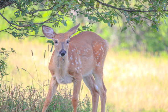 Fawn Under The Apple Tree
