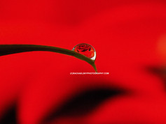 Rose Water Drop