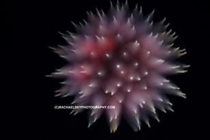 Focus Pull Firework (1)