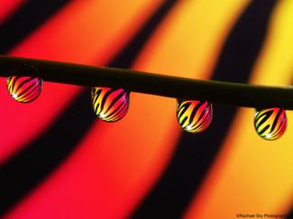 Tiger Water Drop