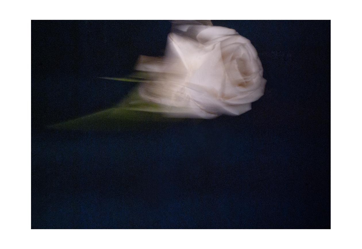 Rose natureweb.jpg
