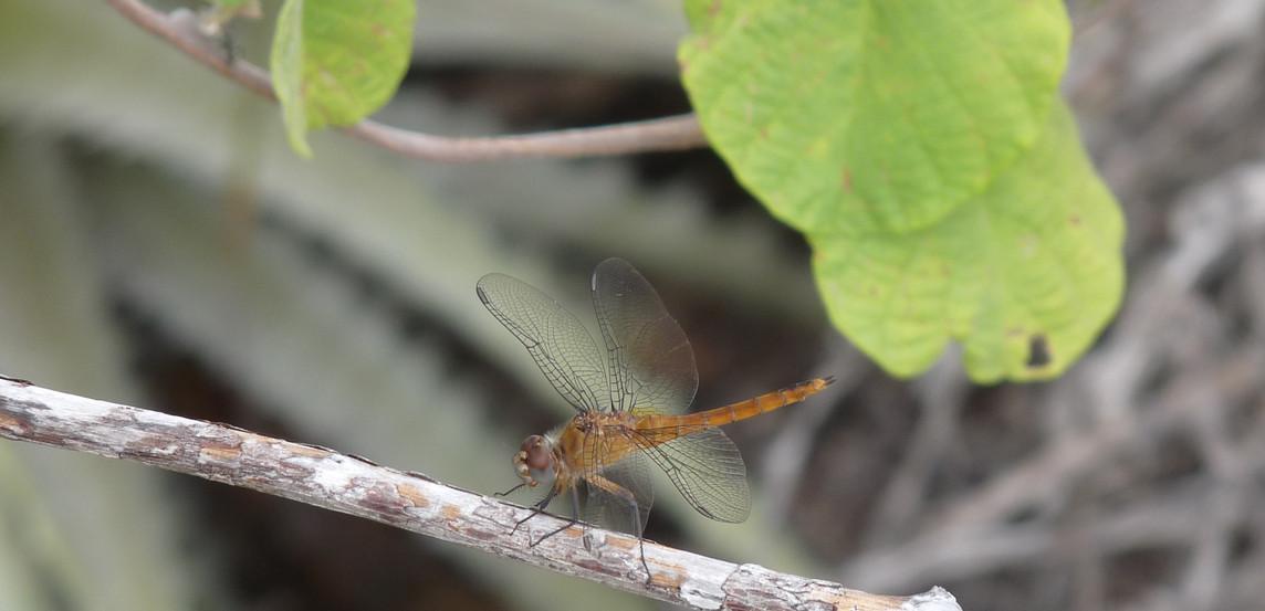 Brachymesia furcata (Hagen, 1861)