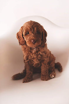 red female australian labradoodle puppy