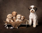 australian labradoodle puppies uk