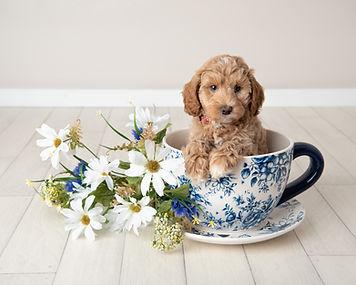 Australian Labradoodle puppies uk