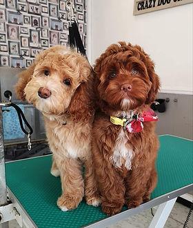 Australian Labradoodles puppy groom