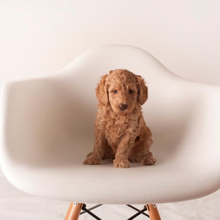 caramel australian labradoodle puppy for sale