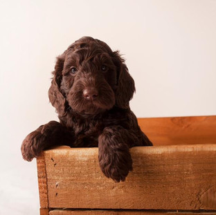 chocolate labradoodles puppy for sale