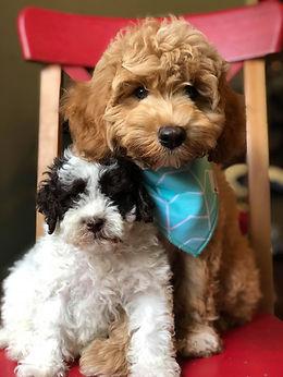Parti australian labradoodle puppies for sale
