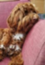 Australian Labradoodle red caramel puppy