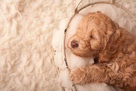 caramel australian labradoodle puppies